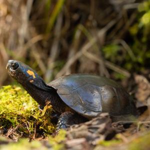 Bog Turtle in Woods (Glyptemys muhlenbergii) by Patrick Randall