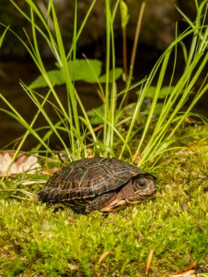 Bog turtle (Glyptemys muhlenbergii) in grass basking