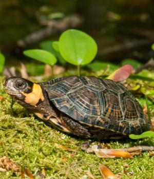 Bog turtle (Glyptemys muhlenbergii) next to pond on moss