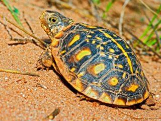 Box Turtle Breeding