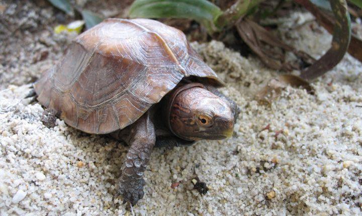 Box turtle as a pet