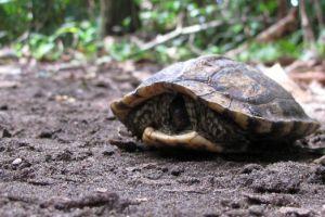 Brown Wood Turtle (Rhinoclemmys annulata)
