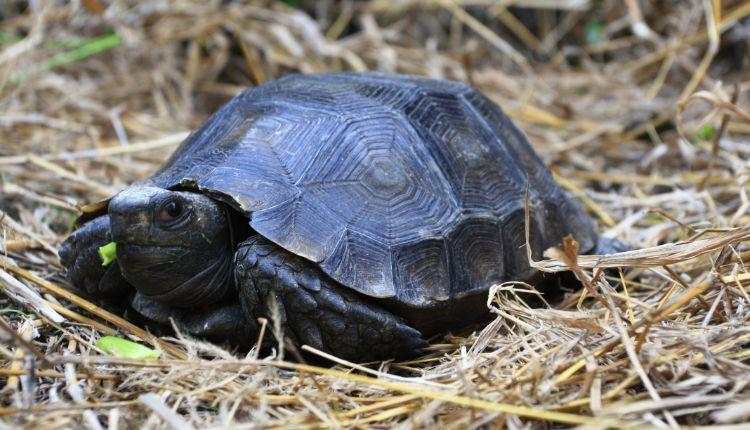 Burmese Mountain Tortoise (Manouria emys)