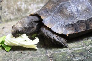 Burmese Mountain Tortoise eating lettuce