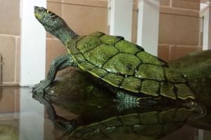 Cagles Map Turtle