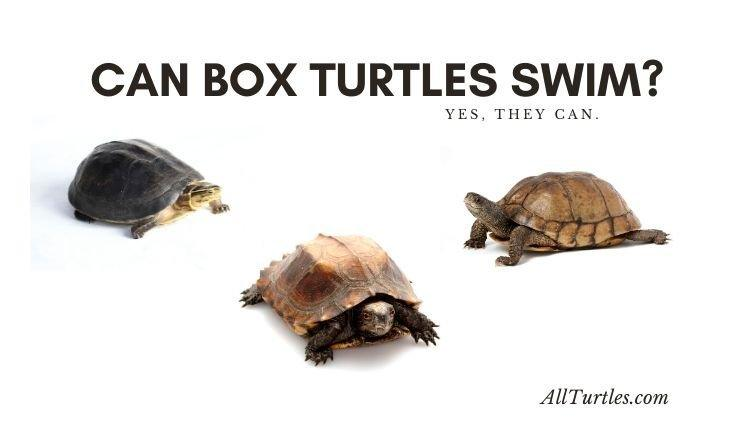 Can Box Turtles Swim