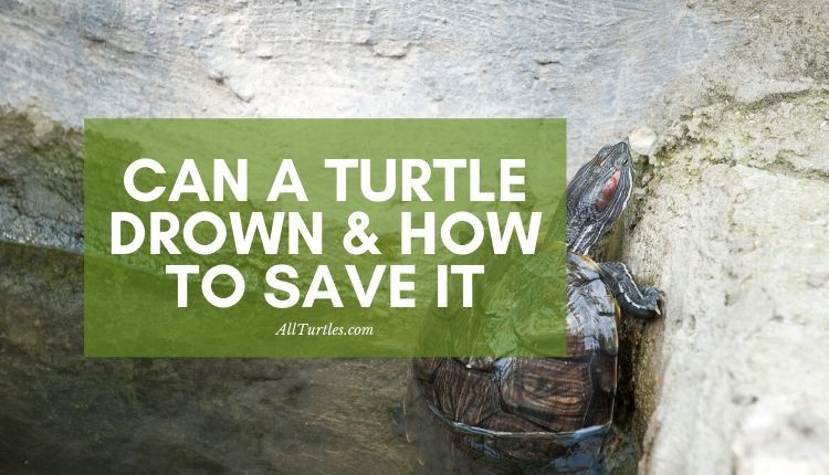 Can a turtle drown