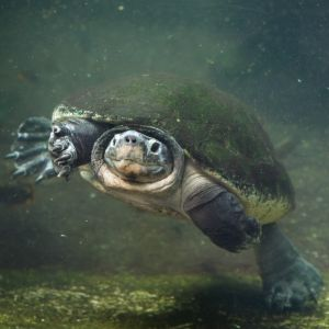 Can turtles breathe through their butts