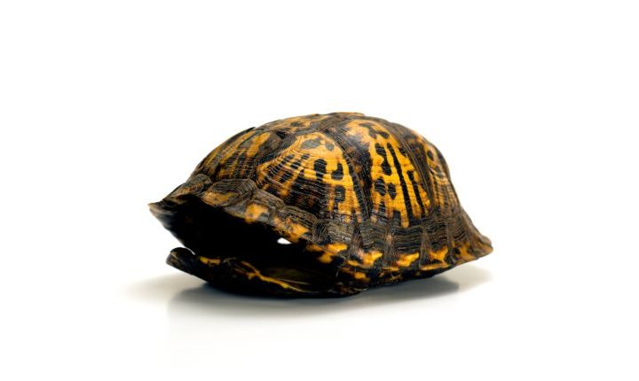 Can turtles live without a shell
