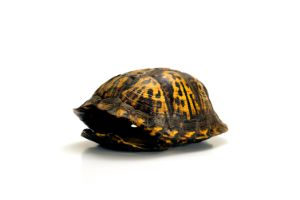 empty box turtle shell
