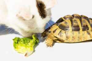 Cat sniffing a marginated tortoise with lettuce in between