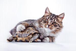 Cat with greek tortoise
