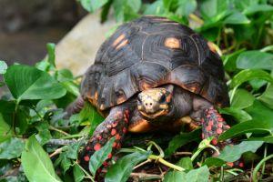 Chelonoidis carbonarius (redfoot tortoise) sitting in green leaves