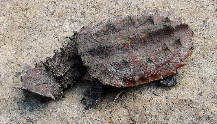 Chelus fimbriata (Matamata Turtle)