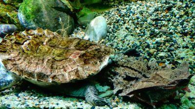 Chelus fimbriata Matamata Turtle