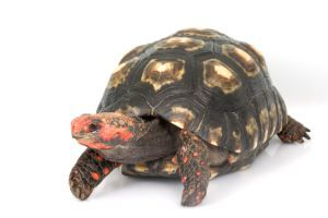 Cherry Headed Red-Footed Tortoise