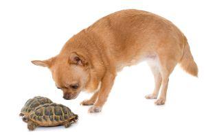 Chihuahua and two tortoises