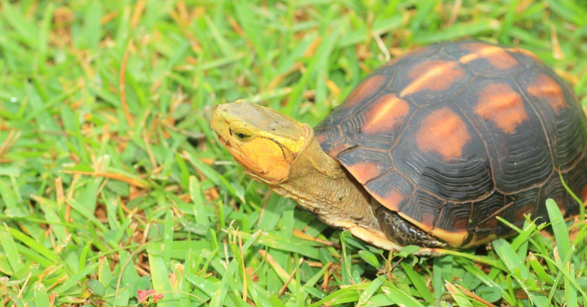 Chinese Box Turtle (Cuora flavomarginat)