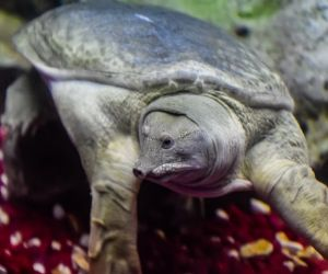 Chinese softshell turtle swimming in tank