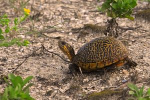 Close up image of Florida Box Turtle (Terrapene carolina bauri)