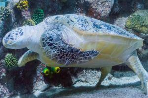 Close up image of Loggerhead Turtle (Caretta caretta)