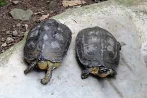 Columbian Wood Turtle (Rhinoclemmys_melanosterna)