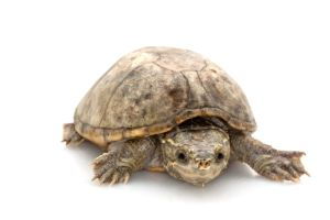 Common Musk Turtle on white background