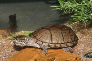 Common Musk Turtles (Sternotherus odoratus) near the water