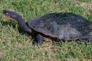 Common-Snakeneck-Turtle-Chelodina_longicollis