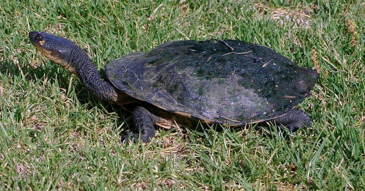 Common Snakeneck Turtle (Chelodina_longicollis)
