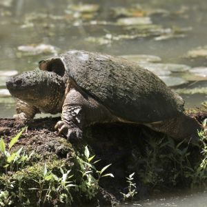 Common Snapping Turtle (Chelydra serpentina) basking on barge