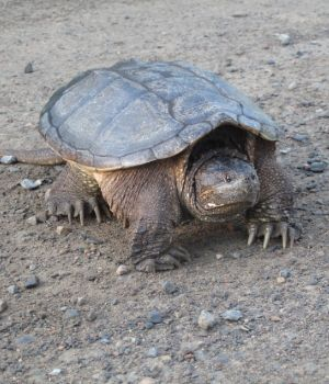 Common Snapping Turtle (Chelydra serpentina) walking on dirt