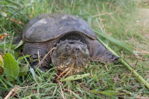 Common Snapping Turtles (Chelydra serpentina) on the grass