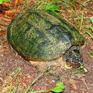 Common Snapping turtle (Chelydra Serpentina) found sitting in the woods in alabama