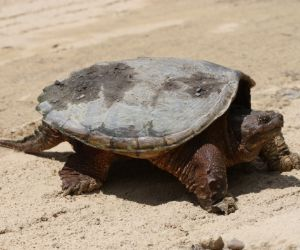 Common Snapping turtle on beach (Chelydra Serpentina)