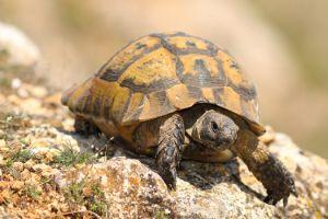 Common Tortoise (Testudo graeca)