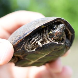 Common musk turtle (Sternotherus odoratus) being held in air retracted in its shell