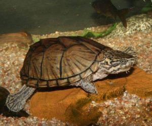 Common musk turtle in Illinois (Sternotherus Odoratus)