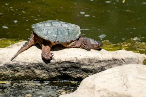 Common snapping turtle basking on rock