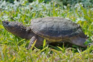 Common snapping turtle in grass