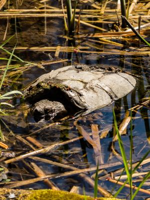 Common snapping turtle waiting for pray in  edge of pond