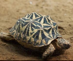 Common spider tortoise in Madagascar
