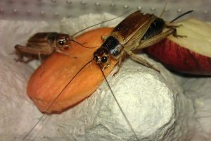 Crickets_feeding_on_carrot for gut loading