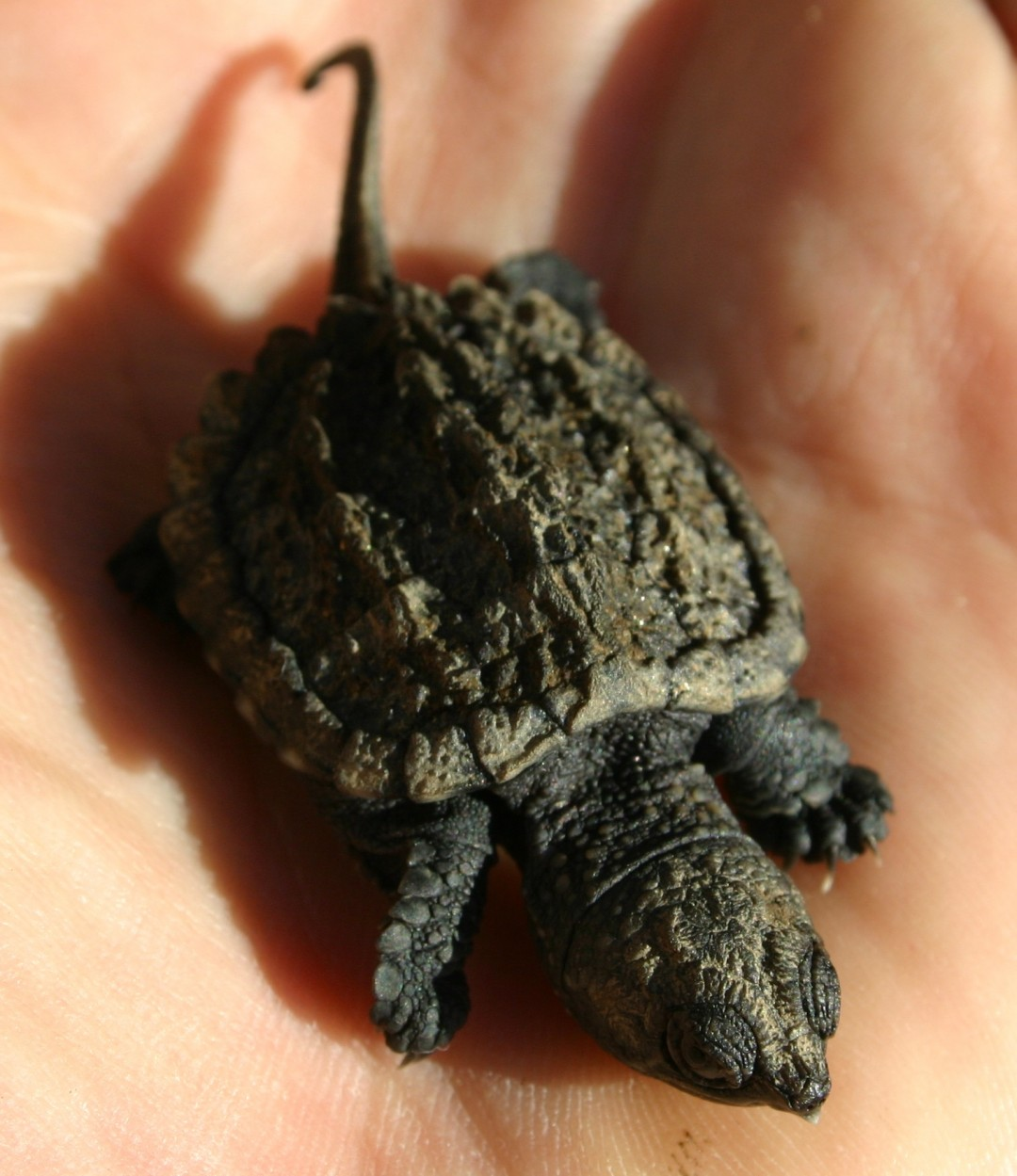 Cropped Baby Alligator Turtle - All Turtles