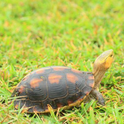 Cuora flavomarginat (Chinese Box Turtle)