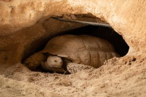 Desert tortoise in the Qatar desert (Gopherus agassizii)
