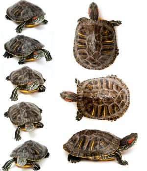 Different sized red eared sliders