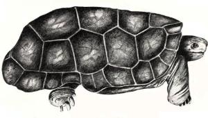 Domed Rodrigues giant tortoise (Cylindraspis peltastes) (1)