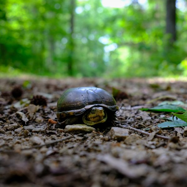 Eastent mud turtle (Kinosternon subrubrum) also known as common mud turtle on forrest floor with legs retracted in shell