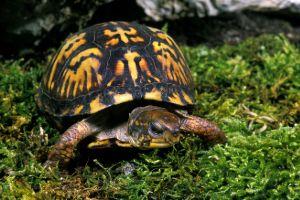 Eastern Box Turtle (Terrapene Carolina Carolina) on the grass
